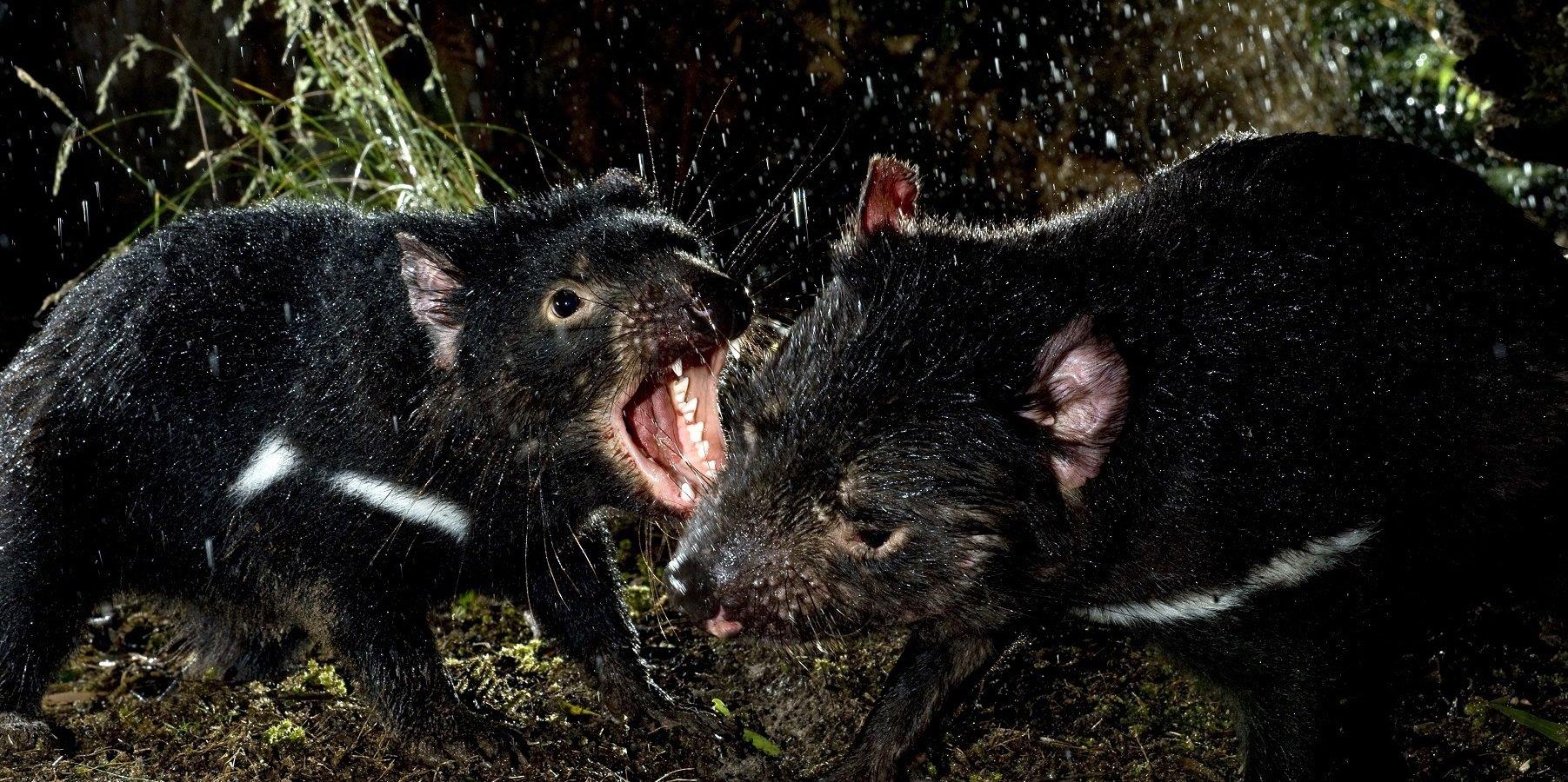 Prawdziwa historia diabła tasmańskiego w grudniu na Nat Geo Wild
