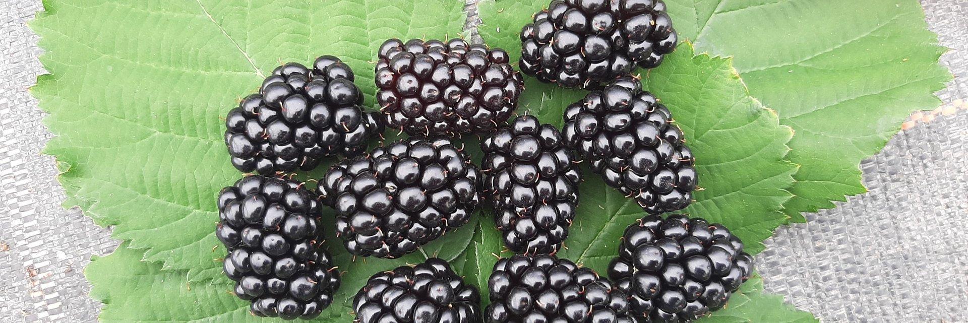 Jeżyny - zdrowy owoc pełen tajemnic
