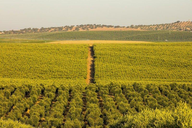 Apanha da azeitona arranca mais cedo na Herdade Maria da Guarda prevendo alcançar a produção de 1.5M kg de azeite