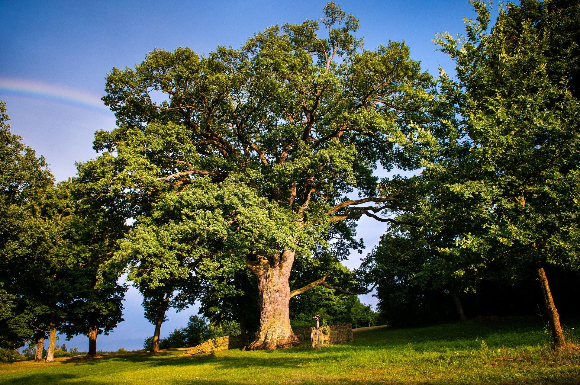 Fajniaki zatroszczą się o jedno z najstarszych drzew w Polsce