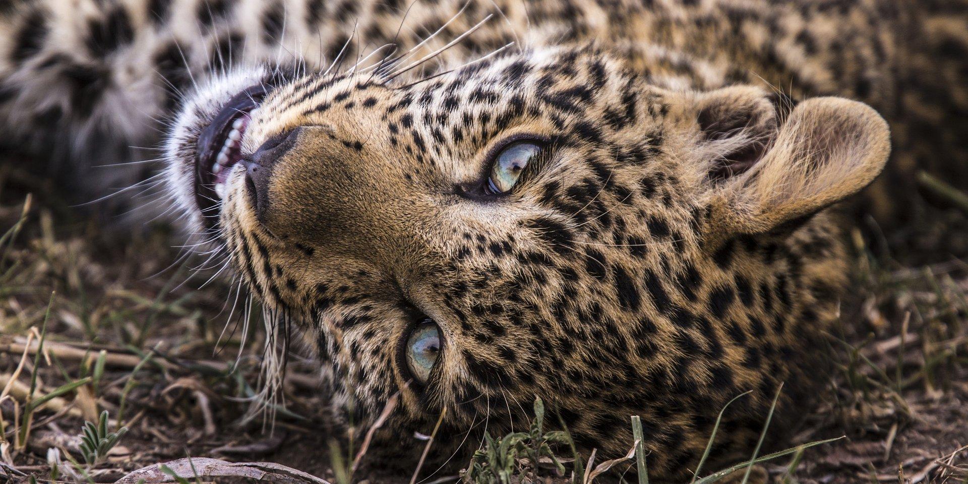 """FEVEREIRO É O MÊS DE TODOS OS FELINOS NO NATIONAL GEOGRAPHIC WILD COM A PROGRAMAÇÃO """"BIG CAT MONTH"""""""