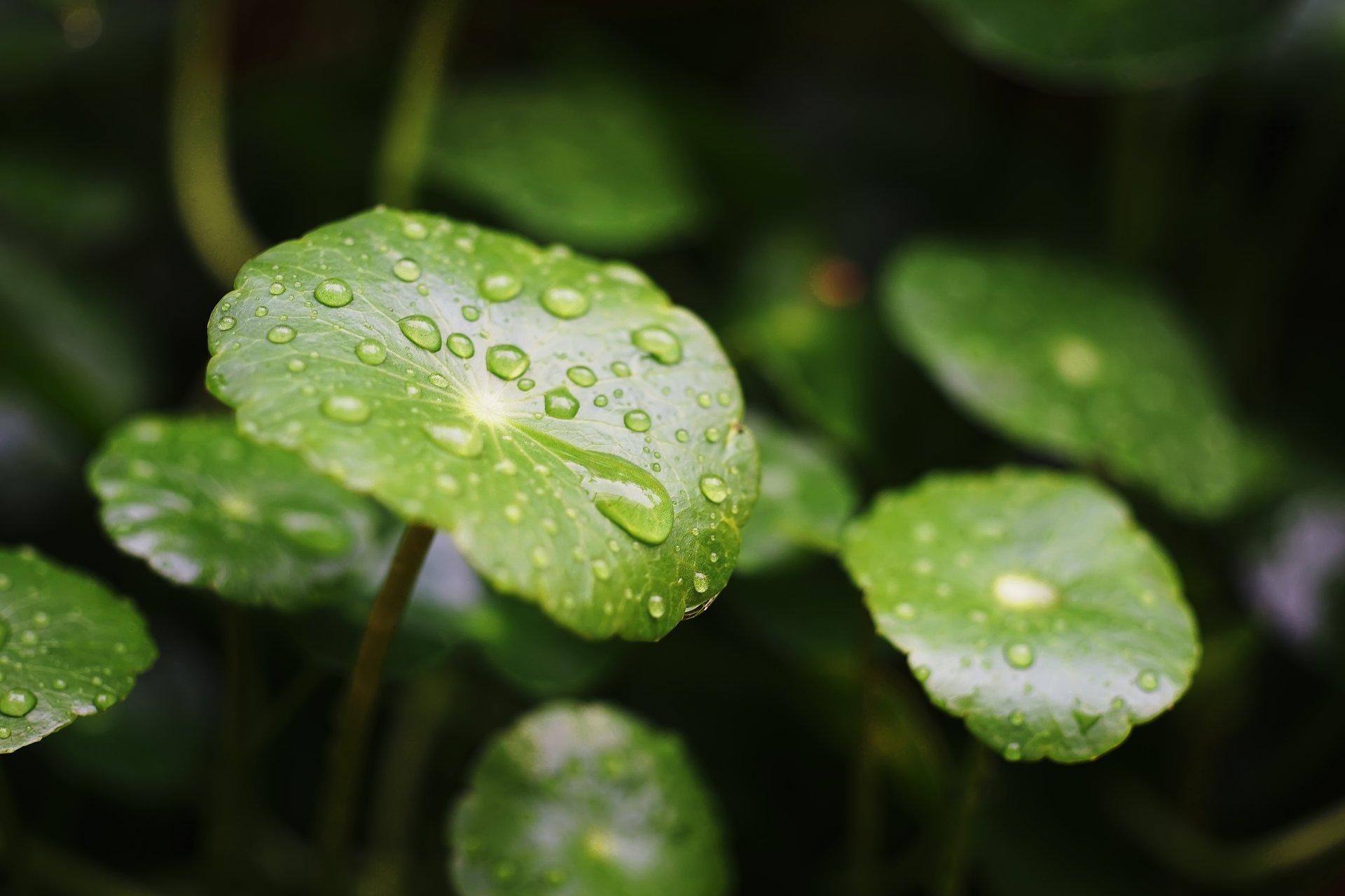 Cudowna wąkrotka azjatycka. Sprawdź jak działa ta egzotyczna roślina!