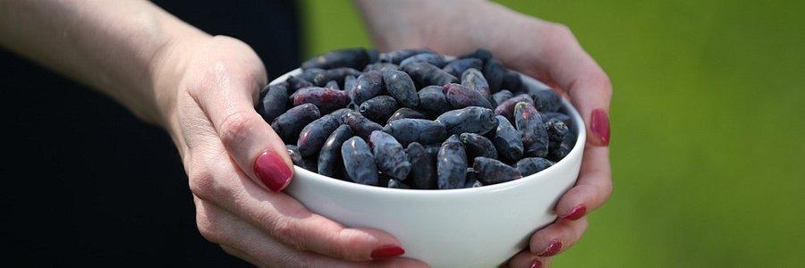 Dlaczego warto jeść jagody kamczackie
