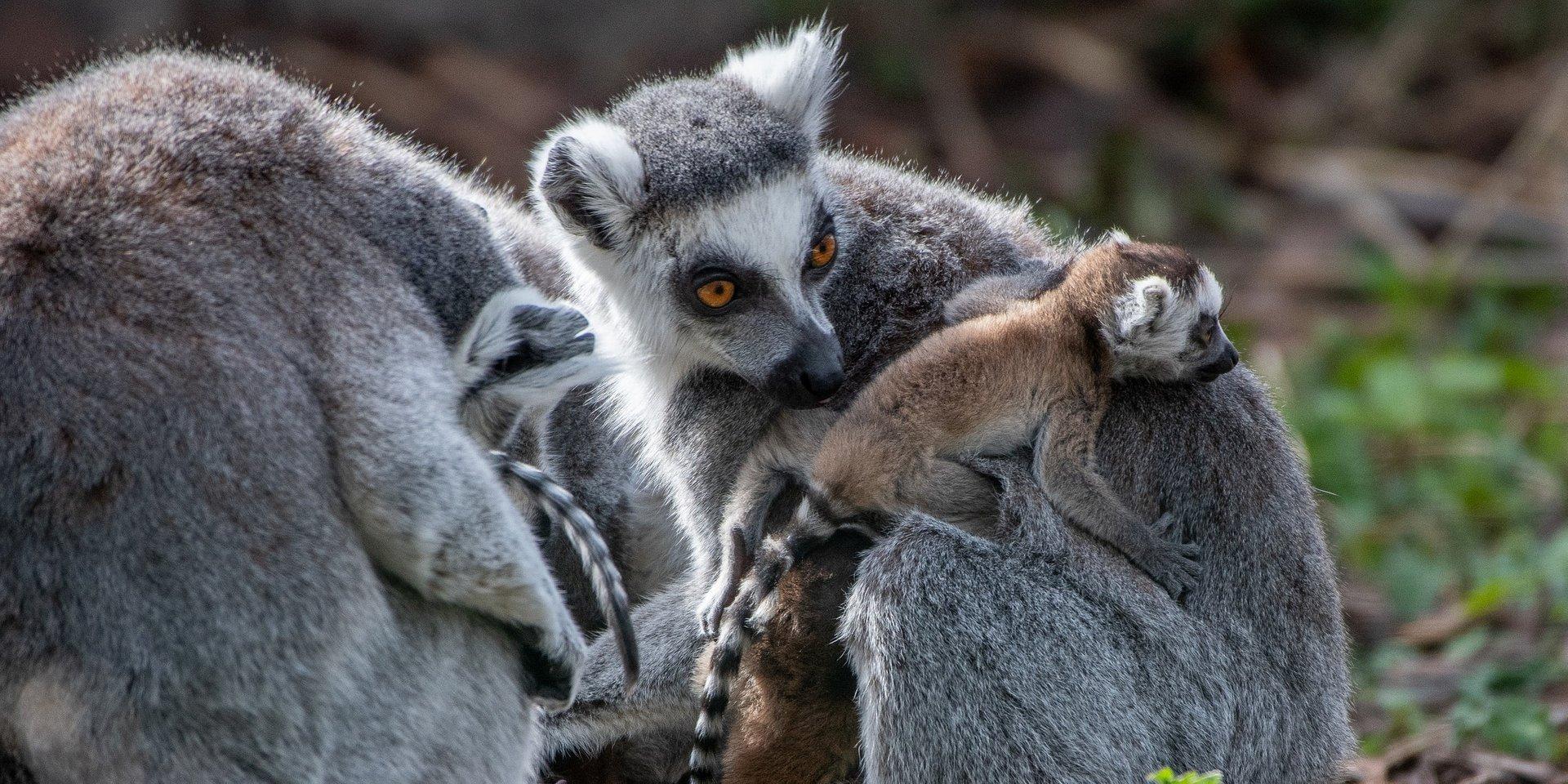 Lemur w marketingu czyli po pierwsze, nie szkodzić
