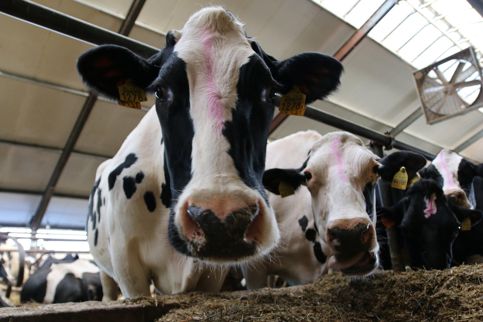 Spomlek płaci za żywienie krów paszami NON GMO