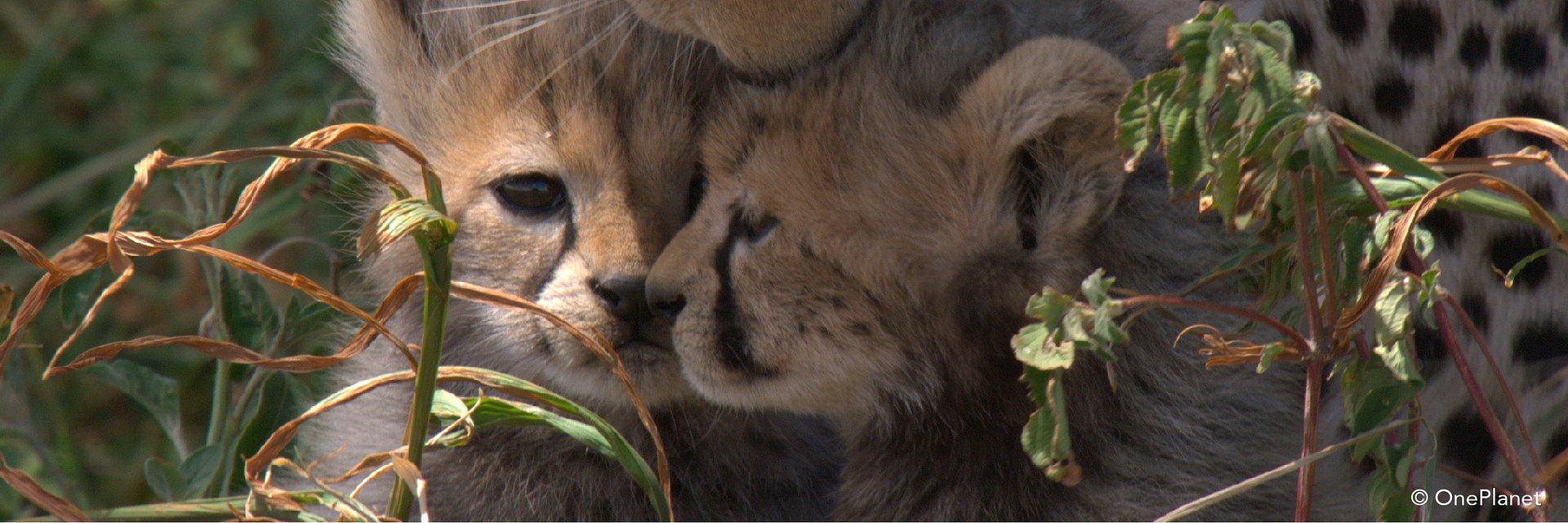"""Zachwycające, rozczulające i jednocześnie budzące respekt. """"Urodzone w Afryce"""" będą dorastać na naszych oczach na kanale Nat Geo Wild"""