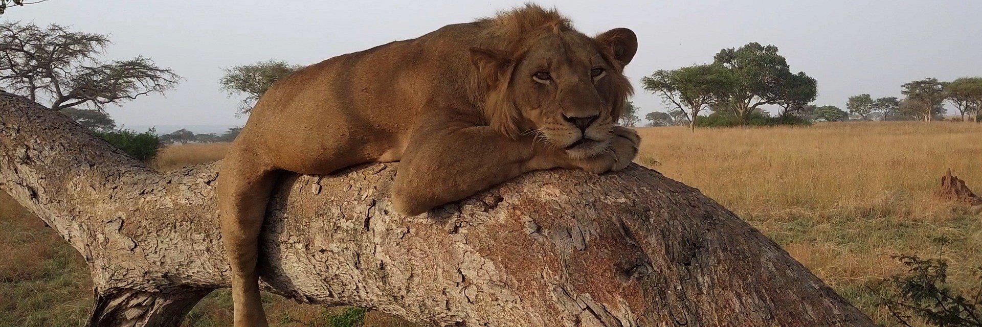 To nie ptak, orangutan, ale… lew w koronach drzew. Kanał Nat Geo Wild pokaże niezwykłe lwy i wzruszające historie o zwierzętach, które wkrótce mogą wyginąć