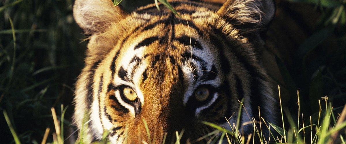 """Premiera dokumentu """"Ziemia tygrysów"""" - Discovery kontynuuje walkę o ocalenie zagrożonego gatunku"""