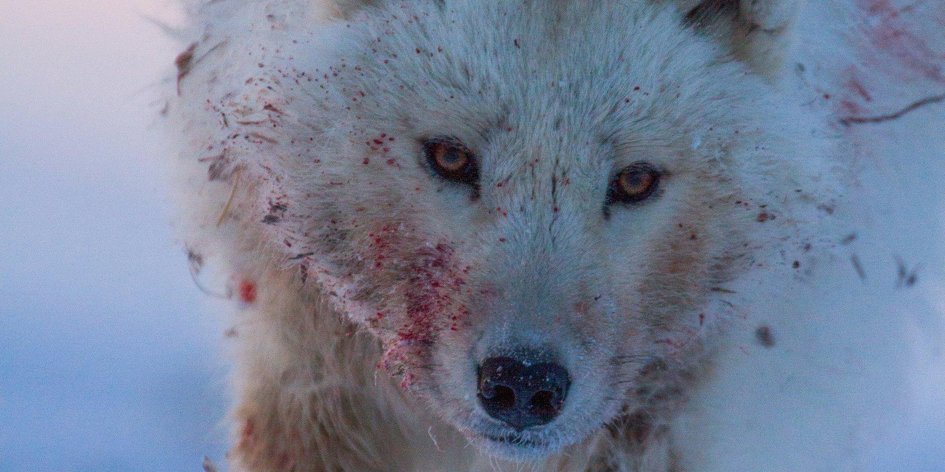 """Najbardziej wytrwałe i najsilniejsze gatunki zwierząt w niezwykłej serii National Geographic """"Wrogi świat"""""""