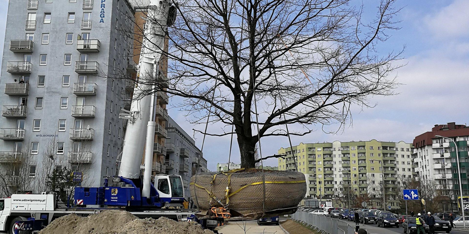 """Warszawa. """"Przeprowadzka drzewa"""" kolidującego z nową inwestycją mieszkaniową"""
