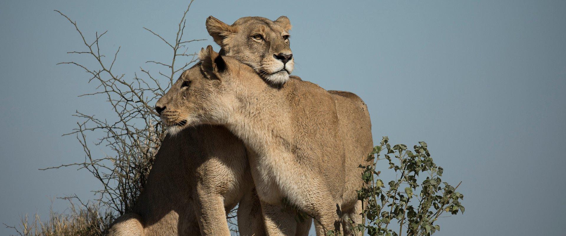 """Wygnana królowa wraca po władzę. Zobacz prawdziwą grę o tron w serii """"Królestwo drapieżników"""" na kanale National Geographic Wild"""