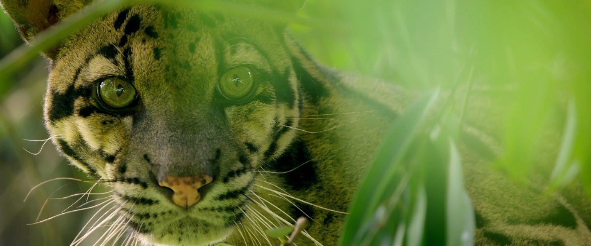 NAT GEO WILD DEDICA O MÊS DE FEVEREIRO AOS FELINOS NO ESPECIAL DE PROGRAMAÇÃO 'BIG CAT MONTH'