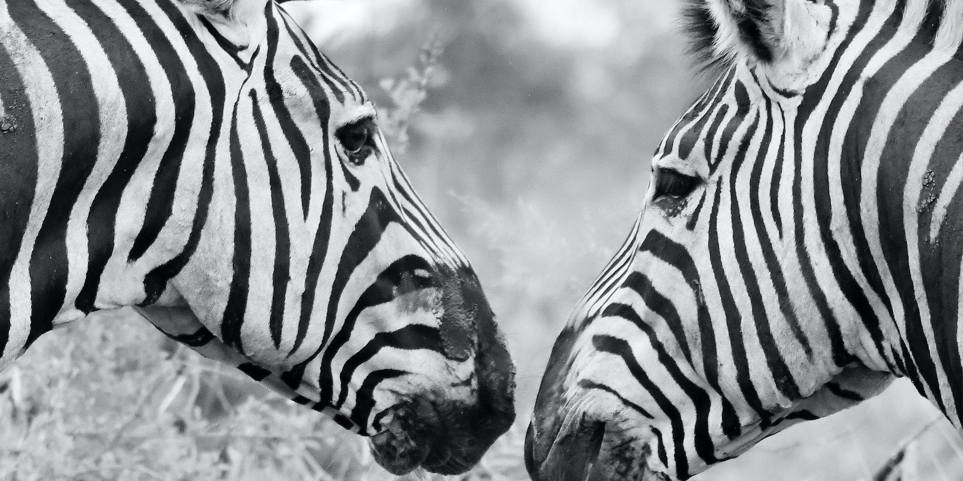 Two Zebras walk into a bar…